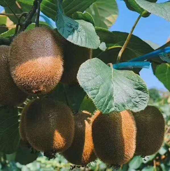 周至县优质猕猴桃供应