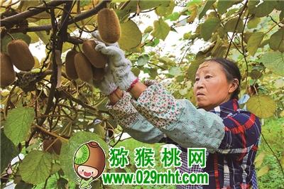 大方县:猕猴桃种植拓宽群众致富路