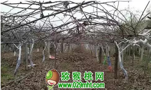 猕猴桃冬剪切莫急着干,养分回流得一段
