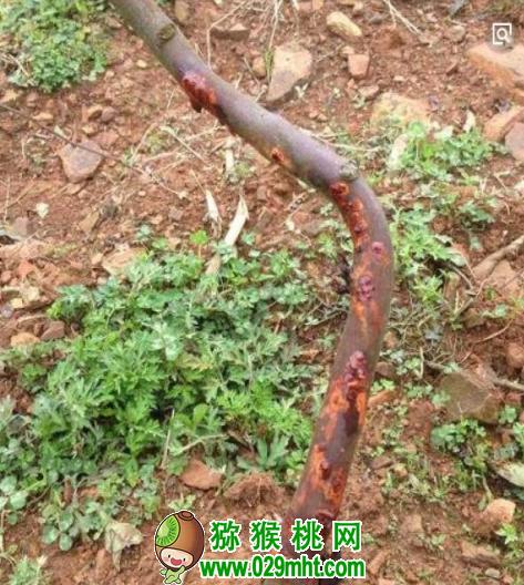 猕猴桃网:猕猴桃溃疡病的发病原因及防治方法