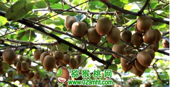 猕猴桃网:冬季你怎么给猕猴桃修剪?猕猴桃冬季管理技巧