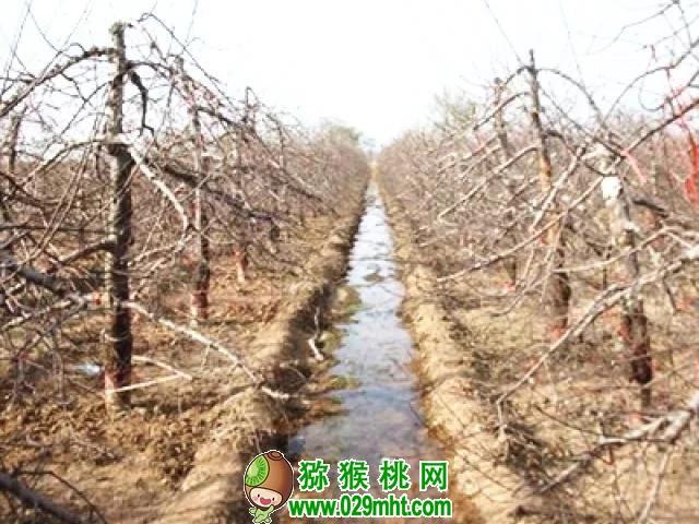 """猕猴桃的""""越冬水""""!时间、灌溉方式、作用"""