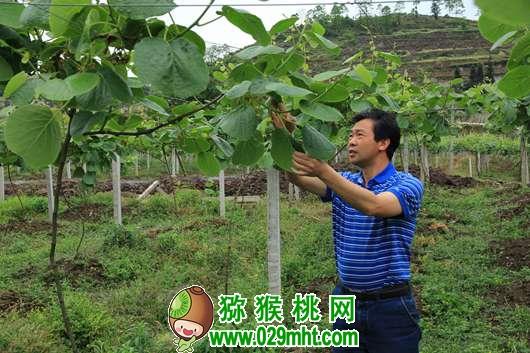 活跃在贵州猕猴桃生产第一线的专家 龙友华