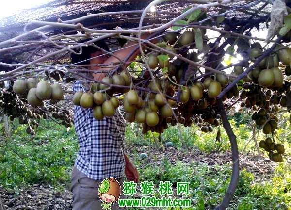 红阳猕猴桃深受市场青睐!栽培红阳应注意这几个问题