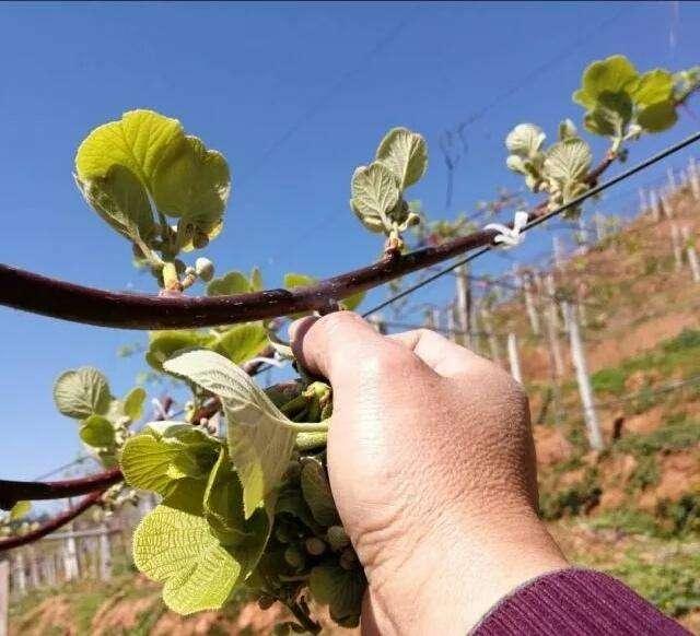 4月份猕猴桃抹芽阶段