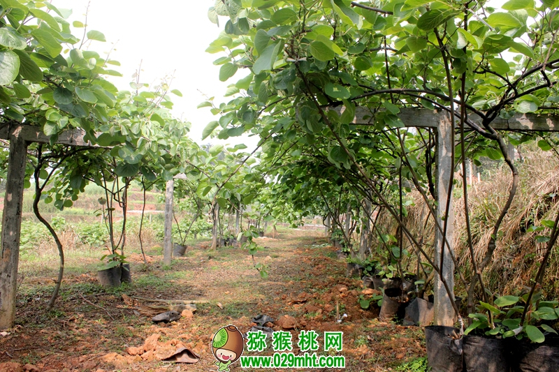 2020宝鸡市眉县的猕猴桃几月份可以成熟吃了