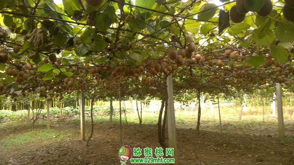 2021年周至翠香猕猴桃预计几月份上市?