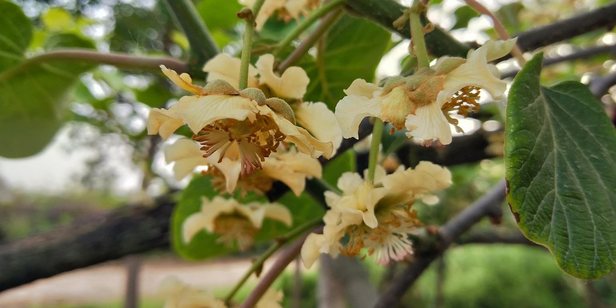周至县目前好多人收花粉,花苞