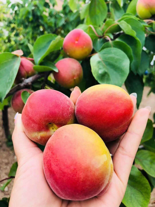 供应周至县胭脂红杏