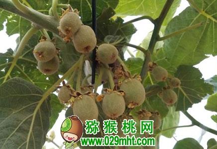 为什么说苍溪县猕猴桃可持续发展?