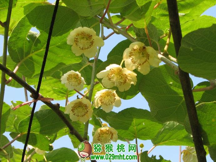 红阳猕猴桃种植单株还是双株好?
