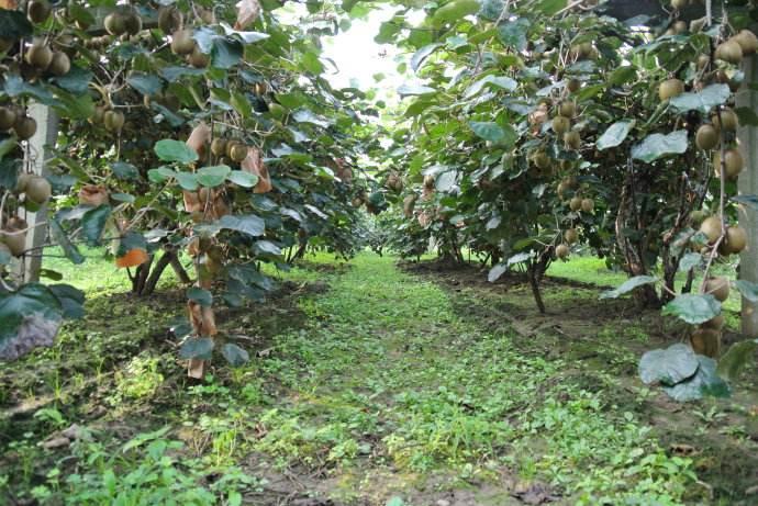 杨凌区猕猴桃产地今日温度最高达37度