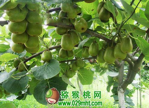 种植过程使用除草剂对猕猴桃树有影响吗