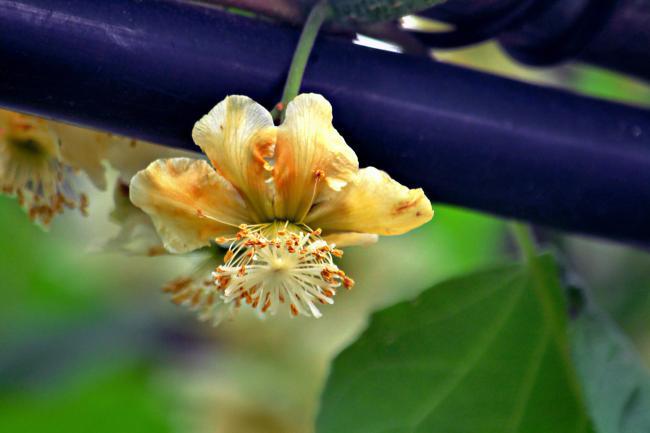 猕猴桃树苗木
