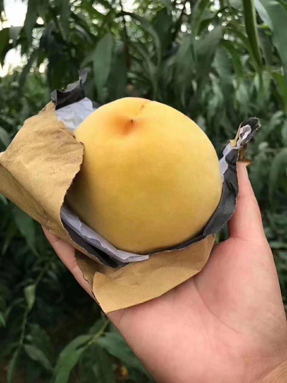供应陕西黄金蜜黄桃