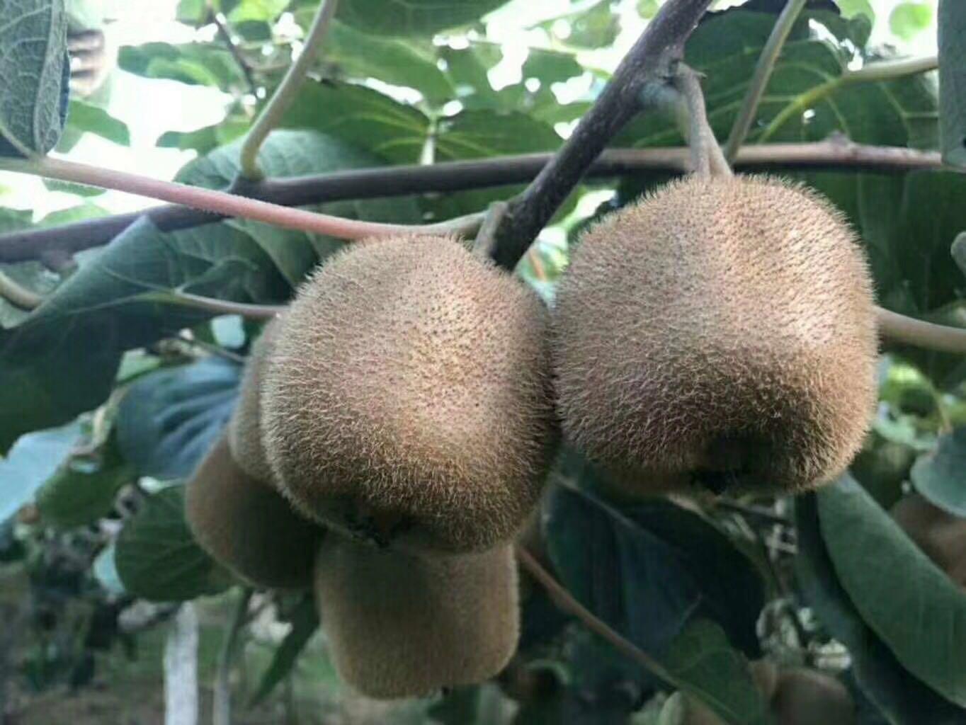 预售陕西周至亚特猕猴桃