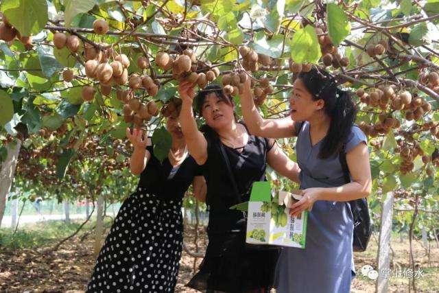 西安市猕猴桃采摘体验,周至猕猴桃基地