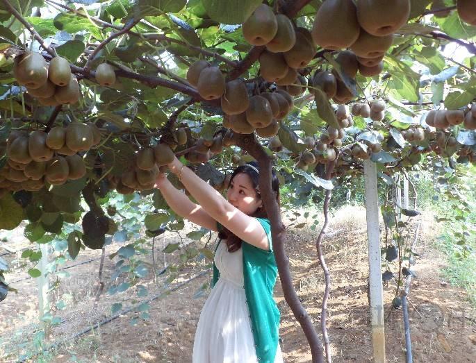 周至猕猴桃采摘,家庭农场体验采摘的快乐
