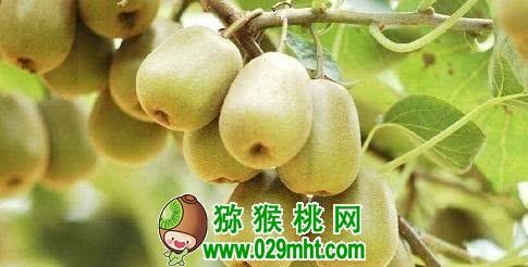 猕猴桃买回家先放大米里,几天就能软乎乎,吃起来酸甜可口