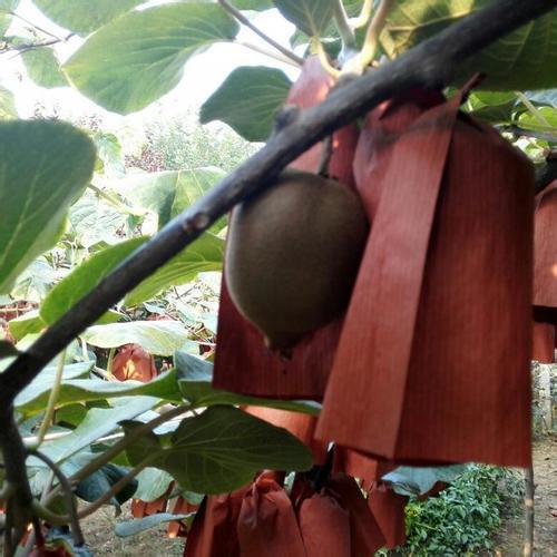 十一国庆节周至猕猴桃产地依旧采收