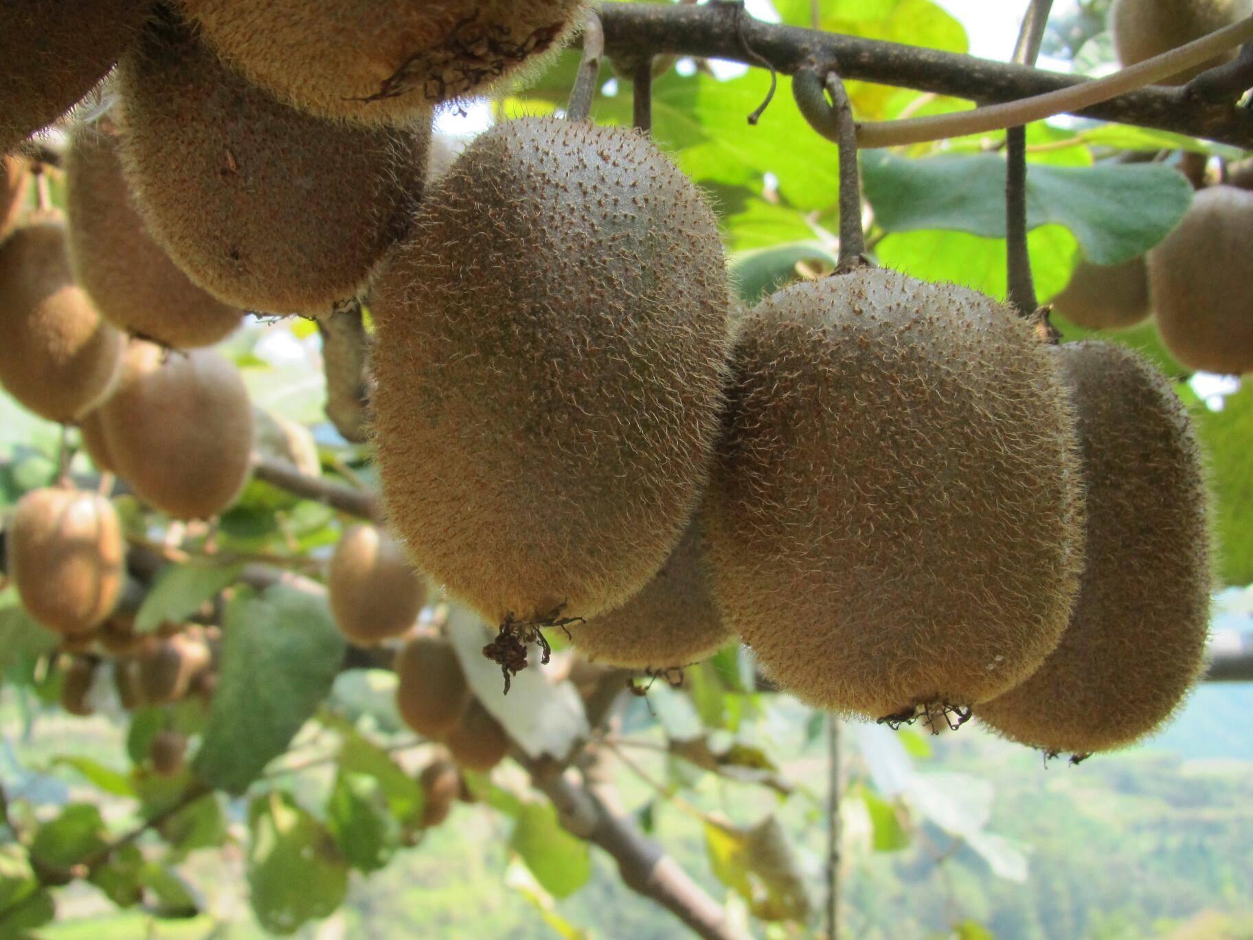 周至猕猴桃产地今日中雨