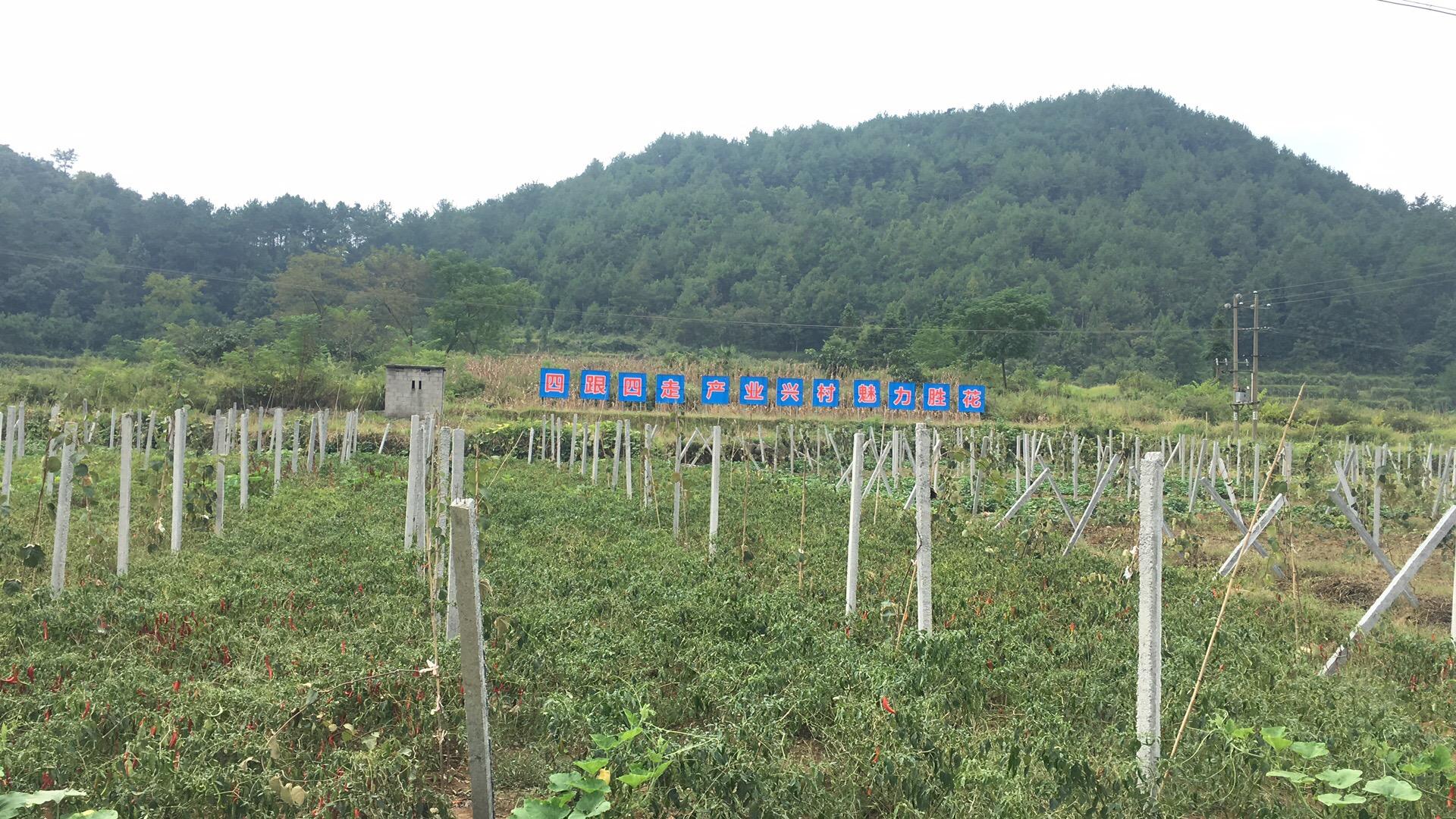 周至县猕猴桃批发销售,原产地猕猴桃即将入库