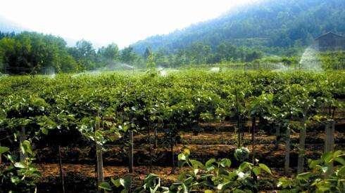 最近天气很冷,猕猴桃果园猕猴桃苗木要保暖