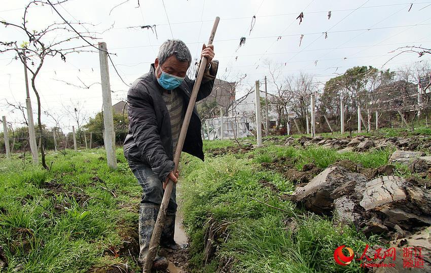 浙江台州:猕猴桃春季清园忙