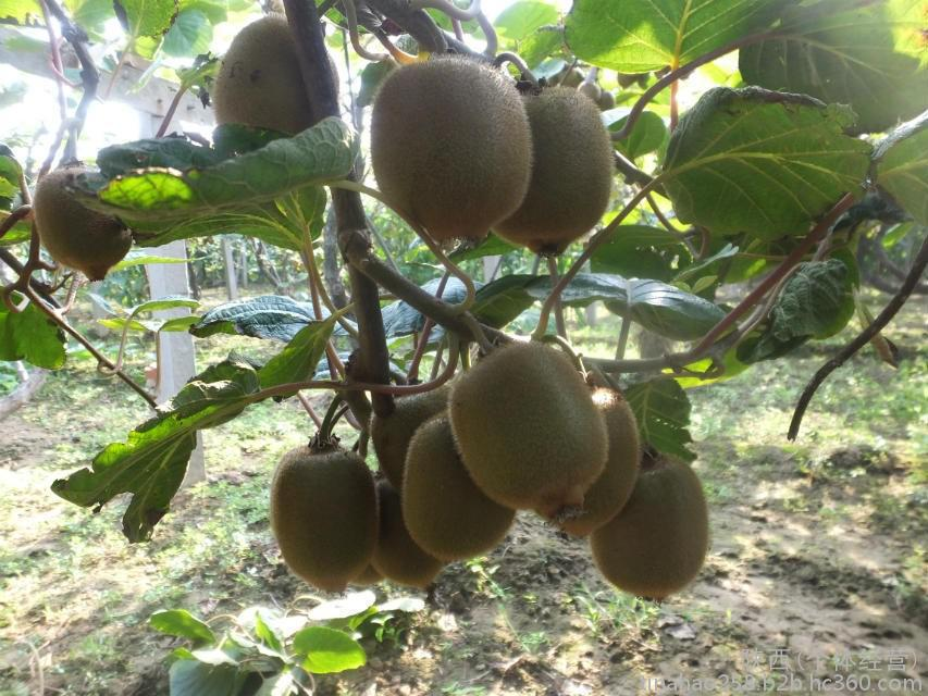 周至猕猴桃产地近期高温36℃。
