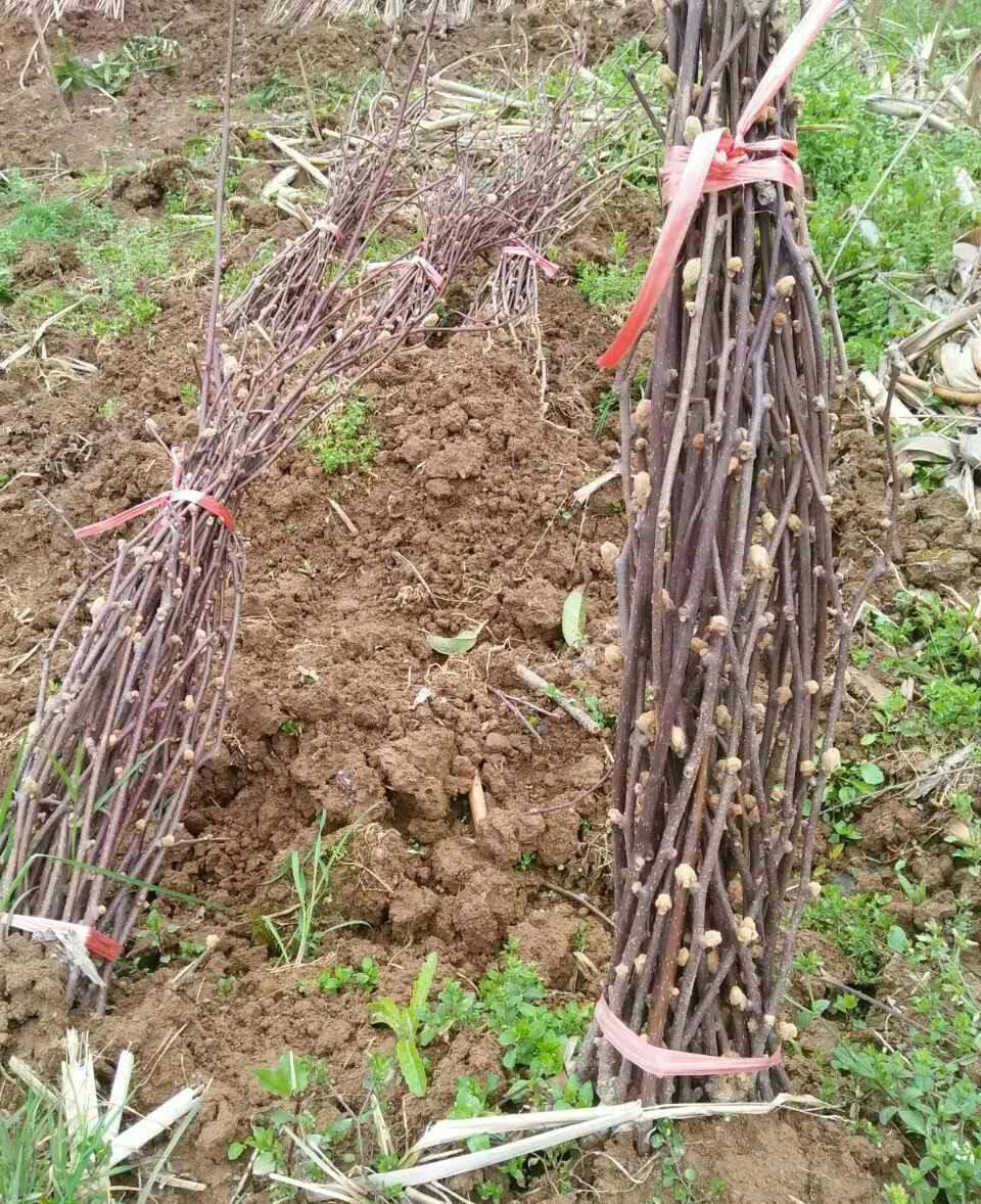 陕西徐香猕猴桃苗木供应