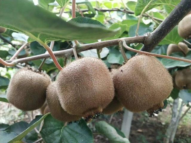 陕西亚特猕猴桃开园预售