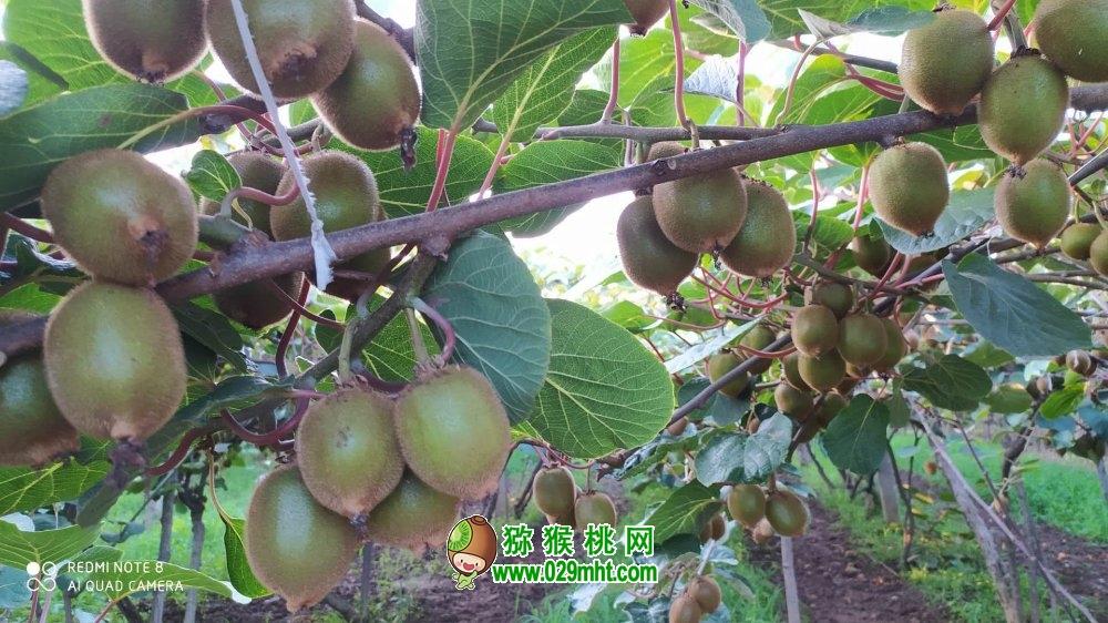 江西樟树:猕猴桃丰收 助农脱贫增收