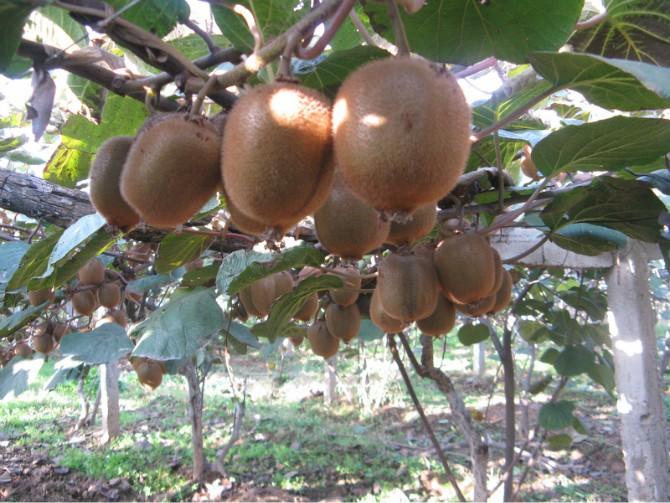 2020周至猕猴桃果汁专用猕猴桃批发销售