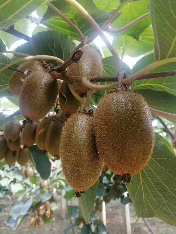 周至翠香猕猴桃产地一件代发