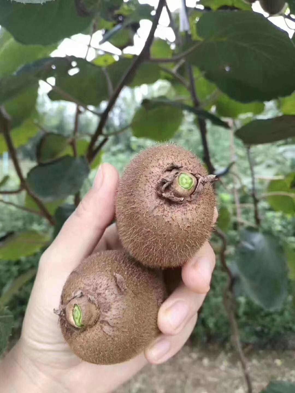 北京地区供应西安翠香猕猴桃微商代发货