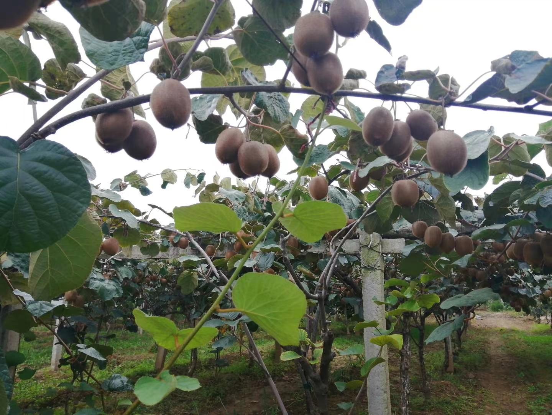 眉县翠香猕猴桃批发销售