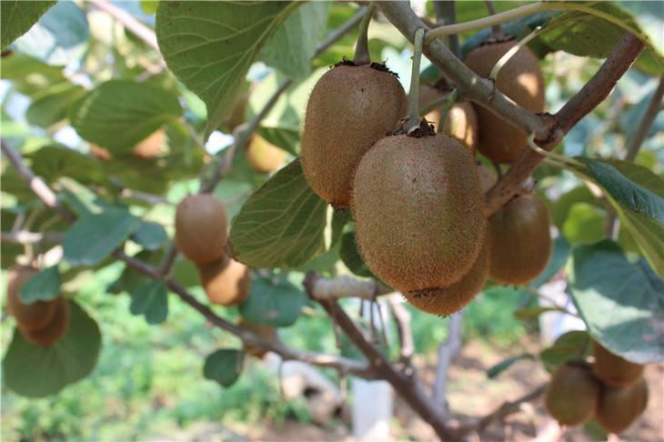 杨凌猕猴桃供应北上广一件代发,质量好原产地