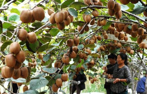 周至猕猴桃10月猕猴桃果园已经清园