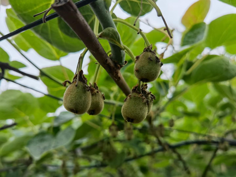 2021周至猕猴桃果树认领,做农场主