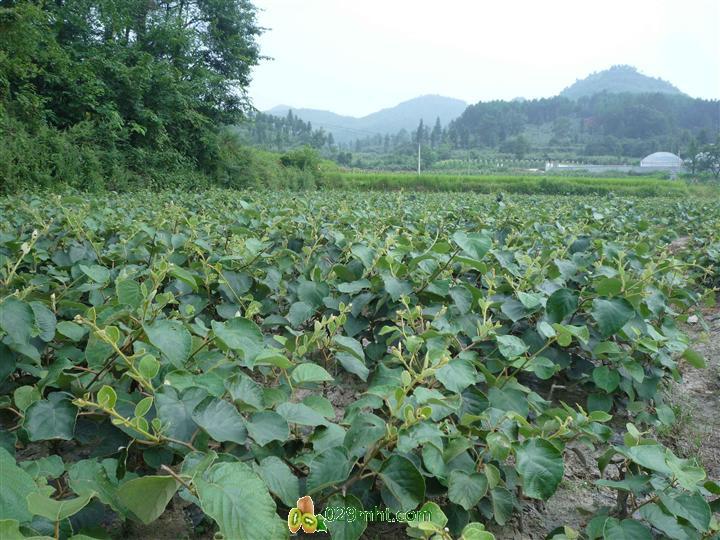 【供应】供应陕西省猕猴桃苗,果园建设