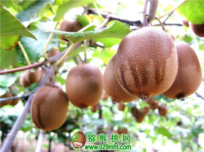 猕猴桃果园果树图片画报中国猕猴桃之乡