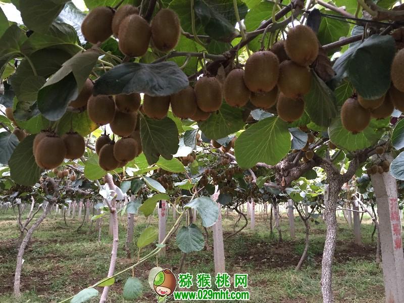 眉县猕猴桃图片画报17年11月