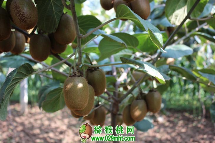 猕猴桃冬季施肥有啥讲究