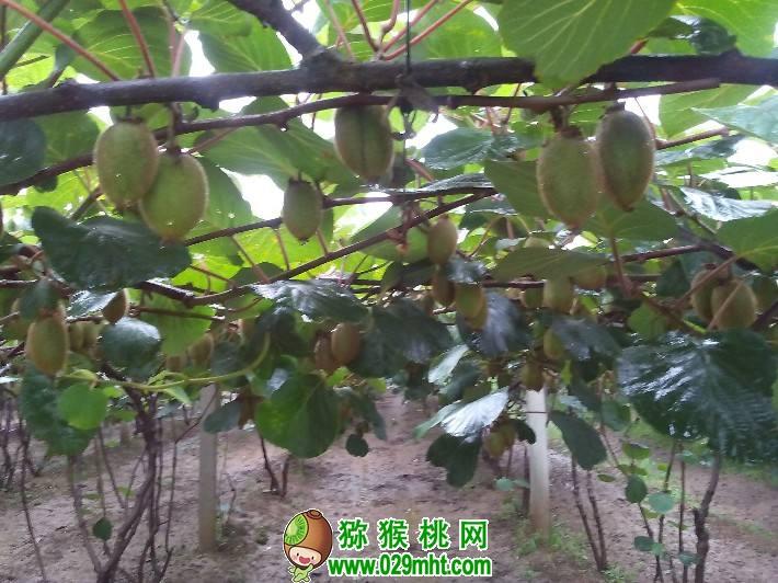 【图】6月份陕西省猕猴桃图片