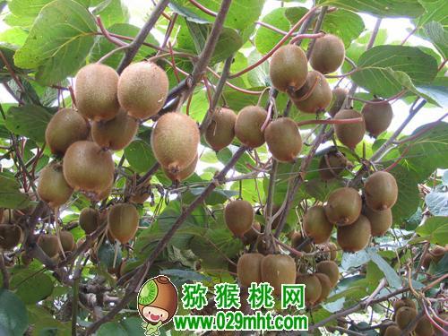 农业支柱产业:眉县猕猴桃产业成为农业经济发展新亮点