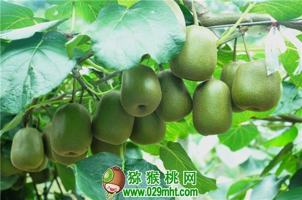 陕西佛坪县农业局助力贫困户发展猕猴桃产业
