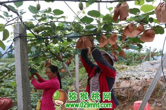 """纳溪区白节镇:种植户相互帮助 为猕猴桃穿""""新装"""""""