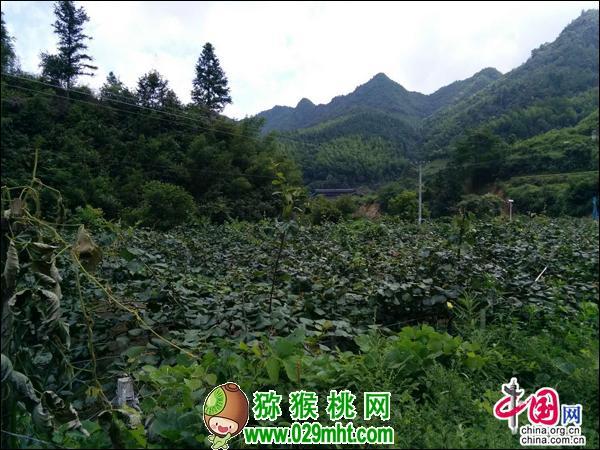 湖南绥宁佘家村11300亩猕猴桃培育成致富果