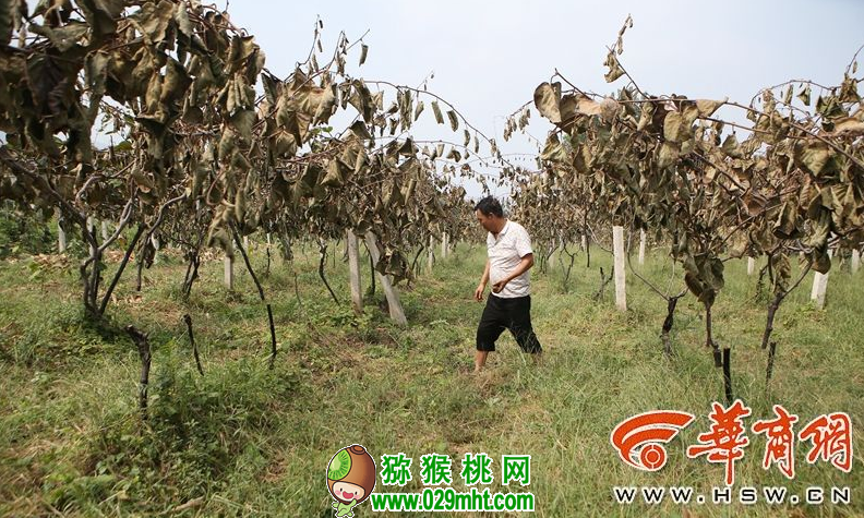 200多颗猕猴桃树将收获 却遭人腰斩