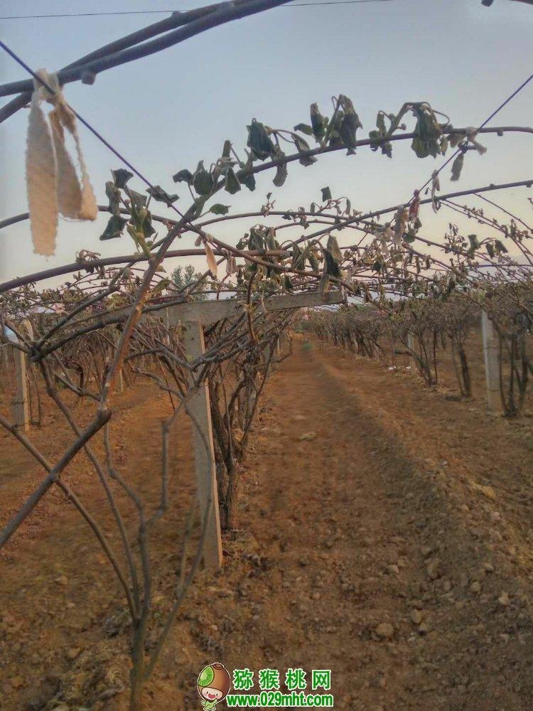 陕西省猕猴桃果农哭了,2018年产量减少70%